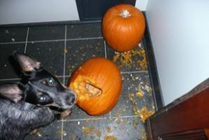 "Loki the Dog ""carving"" a pumpking"